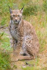 Wall Mural - Closeup of a european lynx in high grass
