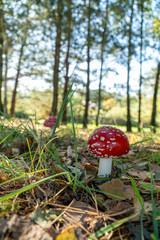 Fototapeta Muchomor czerwony las polski obraz