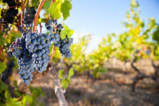 Grappe de raisin noir dans les vignes en France