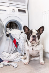 French bulldog with dirty laundry at the electric washer