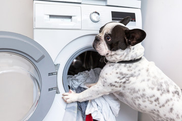 French bulldog loading dirty laundry to the electric washer