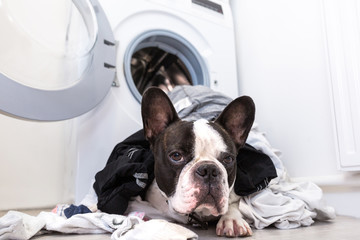 Tuinposter Franse bulldog French bulldog with dirty laundry at the electric washer
