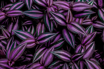 leaves of tradescantia zebrina bosse, abstract purple texture, nature background, tropical leaf