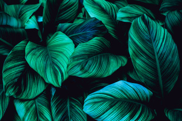 Fotomurales - leaves of Spathiphyllum cannifolium, abstract green texture, nature background, tropical leaf