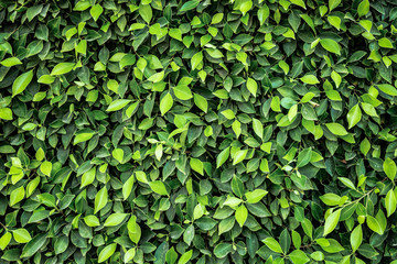 green leaves background Wall mural