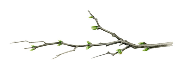 Tree branch watercolor illustration. Close up garden or forest tree element with green buds. Young spring wooden stick with sprouts isolated on white background. Fototapete