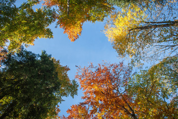 View upwards to the autumnally colorful treetops