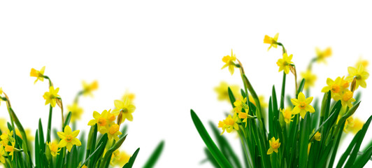 Deurstickers Narcis Yellow daffodil flowers