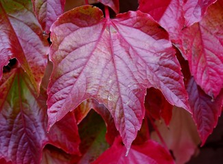 Rotes Weinblatt im Herbst