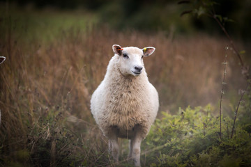 Curious sheep in an autumnal Hampshire field