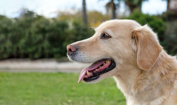 labrador retriever dog portrait open mouth blurred background