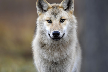 Eurasian wolf, also known as the gray  or grey wolf also known as Timber wolf.  Autumn forest. Scientific name: Canis lupus lupus. Natural habitat.