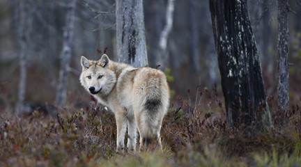 Eurasian wolf, also known as the gray  or grey wolf also known as Timber wolf.  Autumn forest....