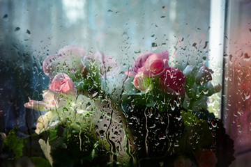 blossoming begonia in pot on window, view through wet window