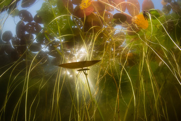 Wall Mural - Sunlight pierces the canopy of lily pads in a freshwater pond on Cape Cod, Massachusetts. Ponds and lakes offer habitat for a wide variety of aquatic plants and wildlife.