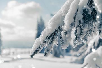 Christmas background with fir branches covered with snow, winter holiday. Beautiful snowy spruce...