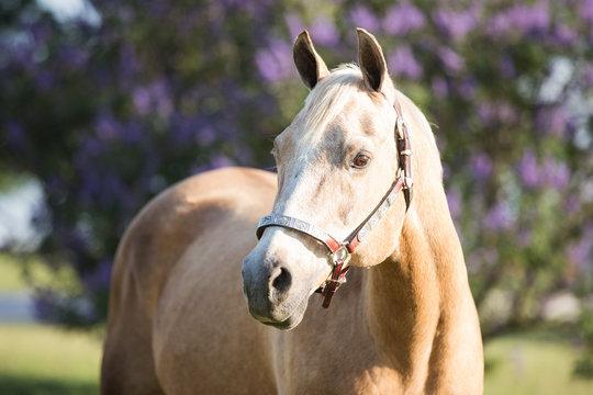 senior palomino horse