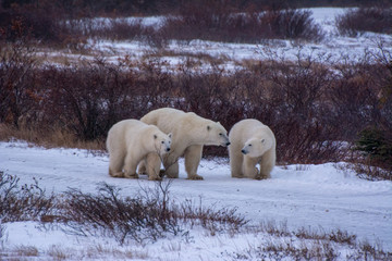 Tuinposter Ijsbeer polar bear mother and cubs