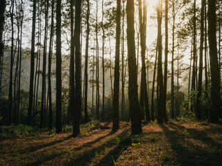 Sunlight pouring through pine trees in forest