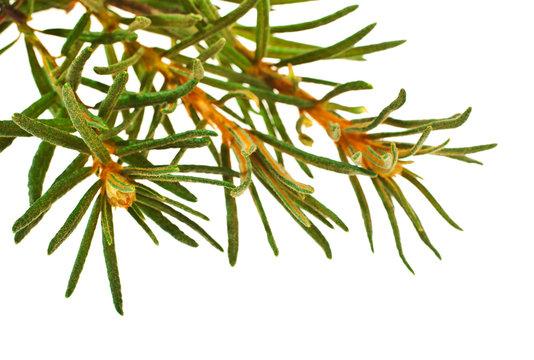 Marsh (Northern) Labrador Tea (Ledum palustre) plant isolated on a white background.