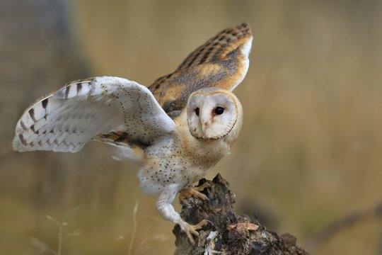Magnificent Barn Owl perched on a stump in the forest (Tyto alba) . Western barn owl in the nature habitat.