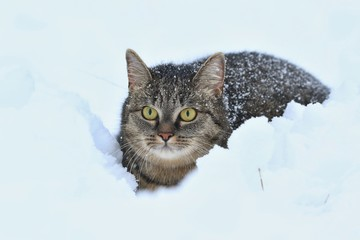 Beautiful tabby cat lying in the snow. Winter scene with animal. Felis silvestris catus. Portait of a charming cat in the snow. Wall mural