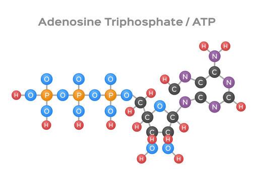 Adenosine triphosphate ( ATP ) molecule vector