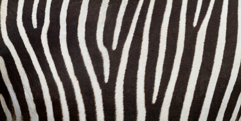 Poster Zebra Pattern of zebra skin useful for panoramic background