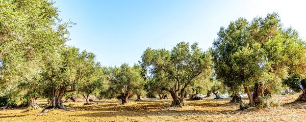 Papiers peints Oliviers Olivenbaumhain, Olivenbäume (Olea europaea)