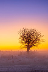 Aluminium Prints Orange Single tree in a sunrise in a wintry landscape with fog