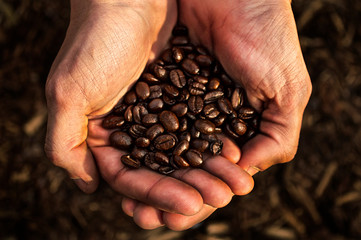 Coffee farmer holding roasted coffee beans close up