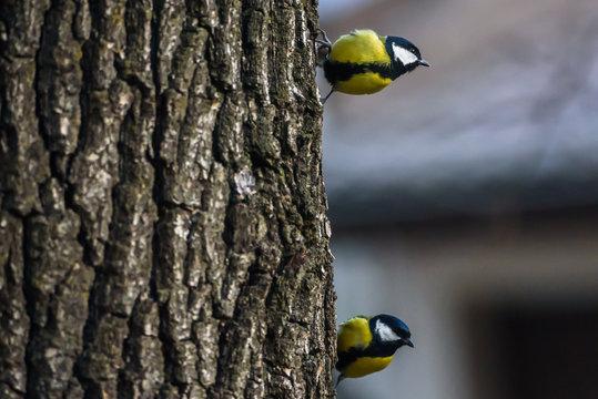 Great tit birds (Parus major) on oak tree trunk, near bird feeder.