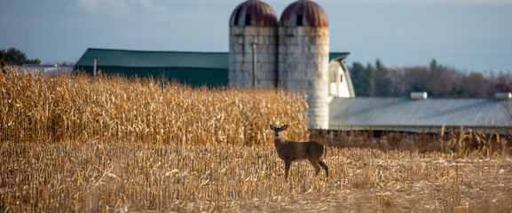 Recess Fitting Deer Ten point white tailed deer buck standing in a farmers cornfield in November panoramic