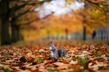 A squirrel sits amongst leaves in Hyde Park during autumnal weather in London