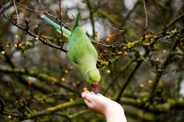 A woman feeds a Parakeet in Hyde Park during autumnal weather in London