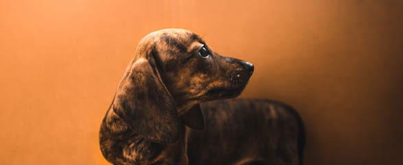 Dachshund puppy on a simple plain orange background in the form of a banner