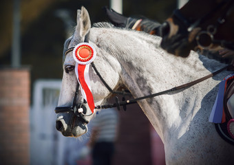 A grey beautiful racehorse stands at the awards ceremony with a red bright rosette attached to the bridle as a sign of victory.