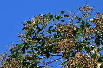 青空を背景にして、秋に多数の黒い実を付けた植物を撮影した写真