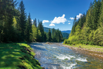 rapid mountain river in spruce forest. wonderful sunny morning in springtime. grassy river bank and rocks on the shore. waves above boulders in the water. white fluffy cloud on the blue sky