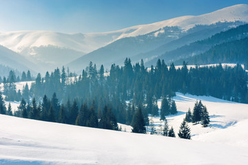 mountainous countryside in wintertime. wonderful rural landscape on a bright sunny day. spruce forest on snow covered rolling hills. beautiful scenery of borzhava ridge