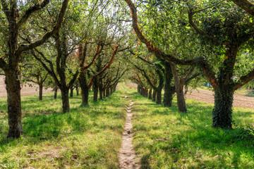 Ein Trampelpfad in einer Apfelbaumplantage