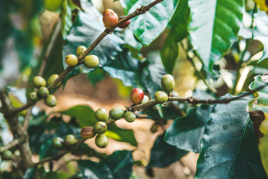 Cuba: Coffee beans ripening on a tree.