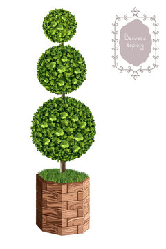 Isolated boxwood topiary in a wooden flower pot, garden plant, vector background. English boxwood, evergreen dwarf shrubs. Shrub for landscape.