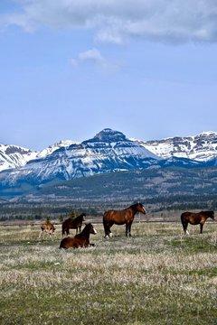 herd of horses in the rocky mountains near Calgary Alberta