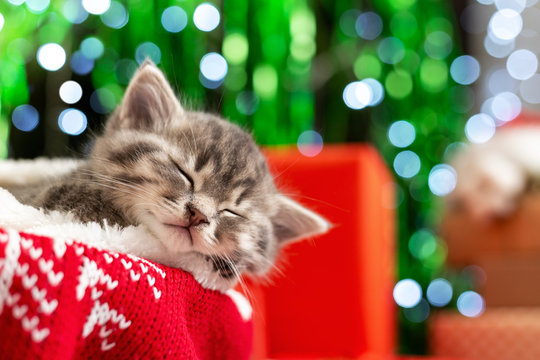 Sleeping Christmas kitten. Beautiful little tabby sleeping kitten, kitty, cat on red knitted plaid under chrismas tree,gifts at home. Cozy holiday home. Happy New Year animal, pet, cat.