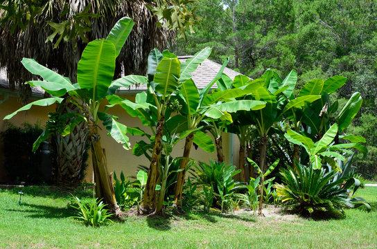 Banana grove in Florida backyard