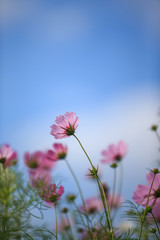 pink flowers on background of blue sky