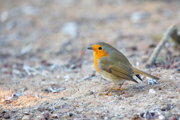 European Robin (Erithacus rubecula) in the nature protection area Moenchbruch near Frankfurt, Germany.