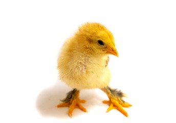 Yellow Brahma chick on white background, selective focus.
