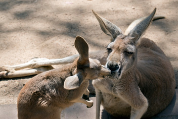 Foto op Aluminium Kangoeroe the young joey is kissing his mother